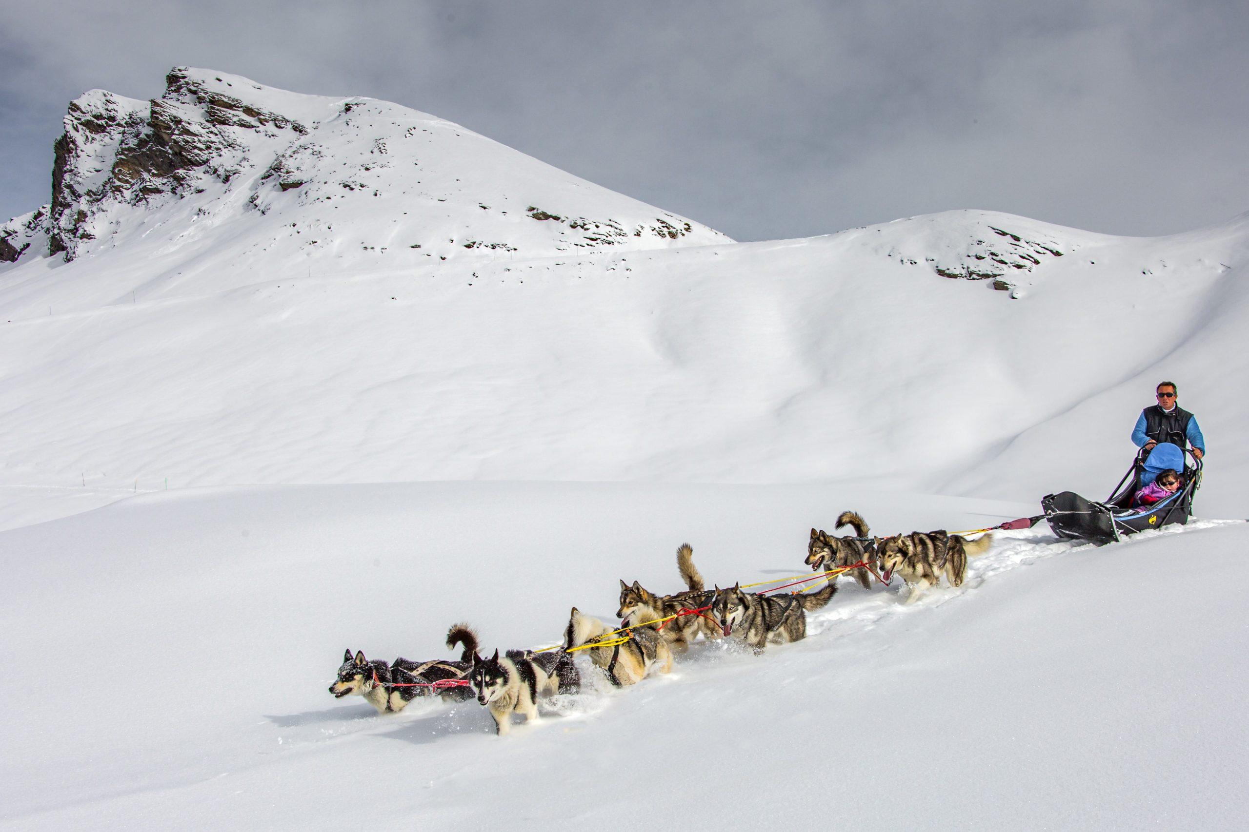 Chien de traineau Alpi Traineau Orcieres Merlette 1850 Champsaur Hautes Alpes Alpi Traineau Chiens de traineaux